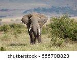 elephant in kenya | Shutterstock . vector #555708823