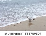 a lone seagull walks on cold... | Shutterstock . vector #555709807