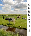 Dutch Cows On The Pasture ...