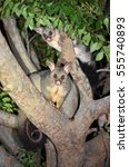 Australian Brushtail Possums ...