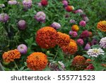 Flower Major. Zinnia Elegans....