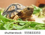 Baby Leopard Tortoise Walking...
