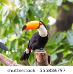 great hornbills in rainforest | Shutterstock . vector #555836797