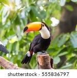 Great Hornbills In Rainforest