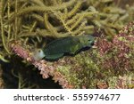 Small photo of Banded goby (Amblygobius phalaena).