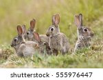 Stock photo a group of wild rabbits sitting outside their warren in new zealand 555976447