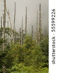 Small photo of Dead Fraser Firs, American Mountain-Ash, Clingmans Dome, Great Smoky Mountains NP