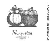 mangosteen hand drawn... | Shutterstock .eps vector #556106977