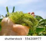 Small photo of Caviar algae