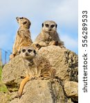 Three Meerkats On The Stone.