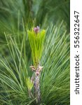 pineal growing in its green...   Shutterstock . vector #556322647
