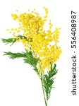 Mimosa Flowers Isolated On...