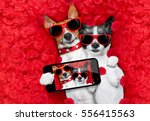 couple of two  dogs lying in... | Shutterstock . vector #556415563