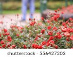 Stock photo little rose flower in the public park 556427203
