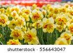 Yellow   Orange Spring Double...