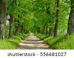 avenue of linden trees  tree...   Shutterstock . vector #556681027