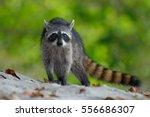 the raccoon  procyon lotor ... | Shutterstock . vector #556686307