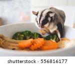 Sugar Glider Eating Noodle. Pe...