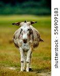 Grazing Donkey On Rural...
