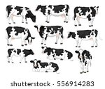 Stock vector holstein fresian black and white patched coat breed cattle set cows front side view walking 556914283