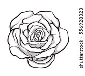 rose flower isolated outline... | Shutterstock .eps vector #556928323