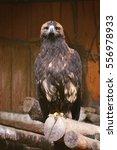 Eagle In Zoo Sitting On Log