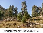 Small photo of Pinsapo (Abies pinsapo) in the Sierra de las Nieves Natural Park, Malaga. Spain