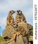 Three Meerkats On The Stone...