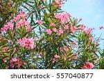 Pink Oleander Or Nerium