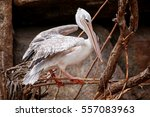 Pink White Backed Pelican Bird...