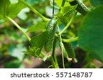 cucumbers ripening on hanging