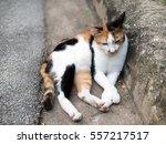 tri color cat sleepy cat | Shutterstock . vector #557217517