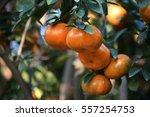 Ripe Tangerine  Citrus...