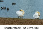 Mute Swans Grooming...
