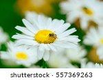 Bee On A Flower Daisy