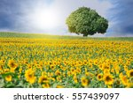 field and big tree of blooming... | Shutterstock . vector #557439097