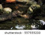 cayman animal   Shutterstock . vector #557555233