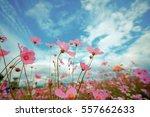 cosmos flower blossom in garden | Shutterstock . vector #557662633