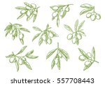 sketched tree branch and olives ... | Shutterstock .eps vector #557708443