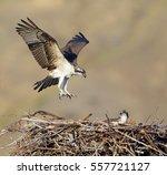 Osprey  A.k.a. Sea Hawk  Fish...