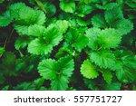 art green strawberry leaf  ... | Shutterstock . vector #557751727