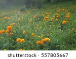 Orange Flowers Trollius...