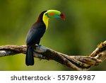 keel billed toucan  ramphastos... | Shutterstock . vector #557896987