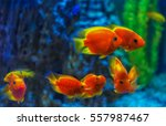 Small photo of Red fish under water . The accumulation of the seven fishes according to Feng Shui .