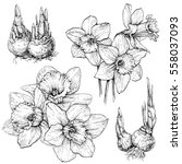hand drawn set with daffodil ...   Shutterstock .eps vector #558037093