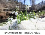 Beautiful Snowdrop Flower Amon...
