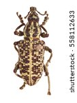 Small photo of Beetle specimen. Focus stacked macro image of Lixus loratus (Curculionidae family- weevils)