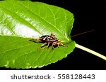 cockroach on a green leaf  ... | Shutterstock . vector #558128443
