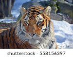 tiger close up  the tiger ...   Shutterstock . vector #558156397
