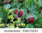 Red Wild Strawberries Growing...